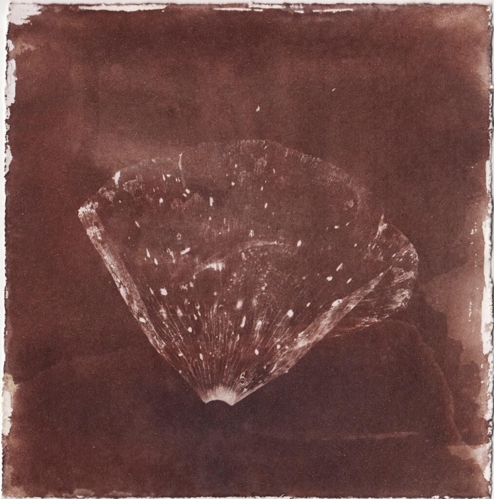 Van Dyke Brown poppy photogram by E Robson